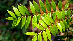Longjack (Eurycoma Longifolia)